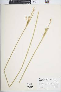 Image of Juncus subulatus