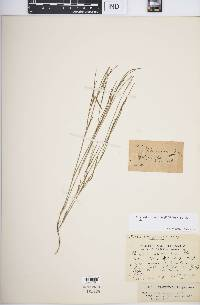 Image of Cleistochloa sclerachne