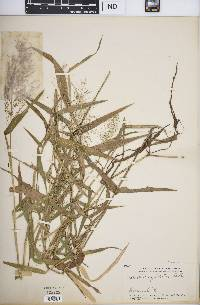 Image of Isachne sylvestris