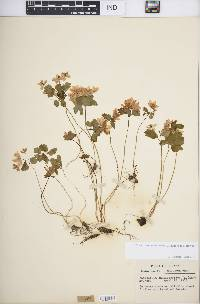 Thalictrum thalictroides image