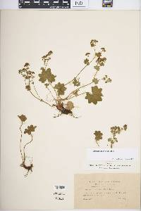 Image of Alchemilla incisa