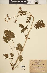 Image of Erodium soluntinum