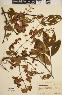 Image of Lagerstroemia tomentosa