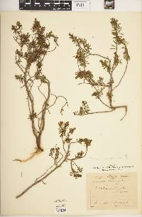 Image of Thymelaea dioica