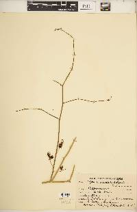 Image of Capparis decidua