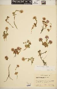 Image of Noccaea rotundifolia