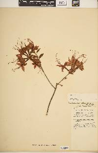 Image of Rhododendron calendulaceum