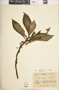 Image of Hoffmannia gesnerioides