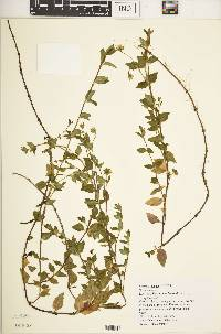Image of Swertia scandens