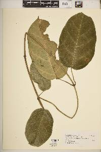 Image of Parsonsia affinis