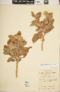 Image of Lycianthes lasiophylla