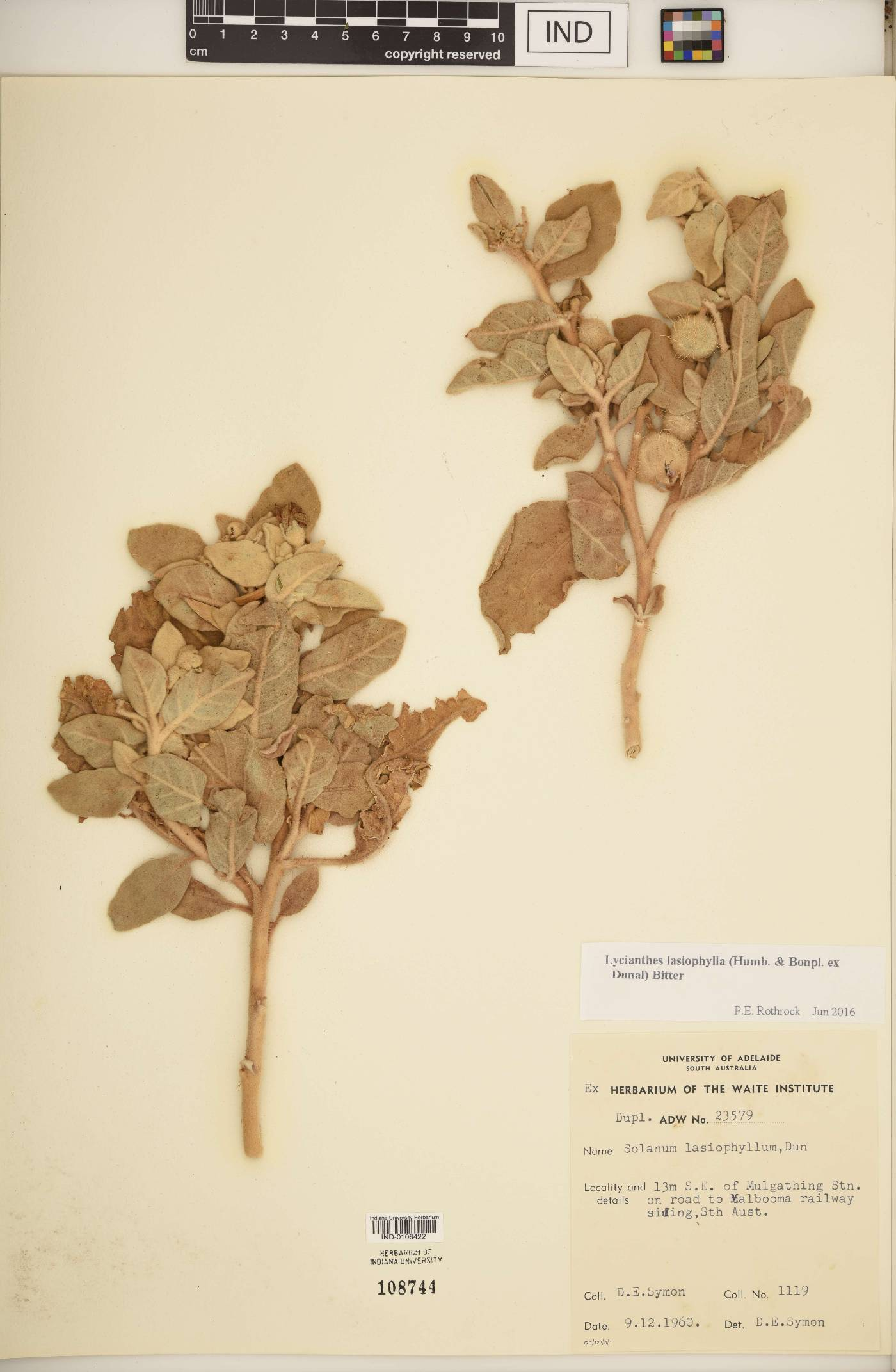 Lycianthes lasiophylla image