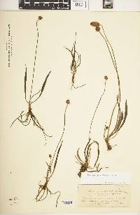 Image of Plantago capitata