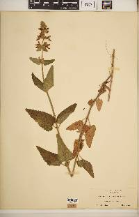 Stachys californica image