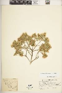 Image of Baccharis pseudovaccinioides