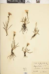 Image of Crepis jacquinii