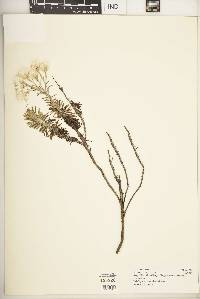 Helichrysum chionoides image