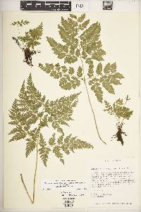 Cheilanthes skinneri image