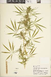 Cannabis sativa image