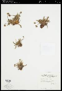 Ivesia lycopodioides image