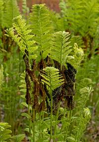 Image of Osmunda claytoniana