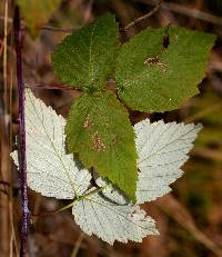 Image of Rubus occidentalis