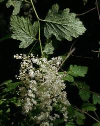 Image of Holodiscus discolor
