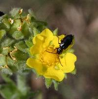 Image of Potentilla pennsylvanica