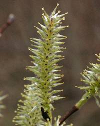 Image of Salix discolor