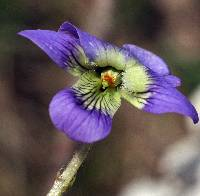 Image of Viola sororia