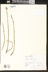 Image of Euphorbia antisiphylitica