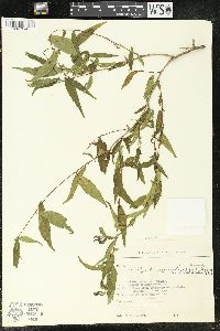 Image of Acalypha lycioides