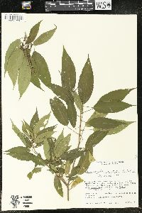 Image of Acalypha stenoloba