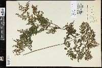 Cheilanthes bergiana image