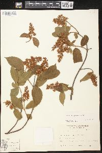 Image of Forsteronia pubescens