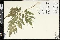 Image of Pteris erosa