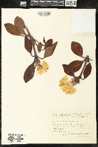 Image of Rhododendron aureum
