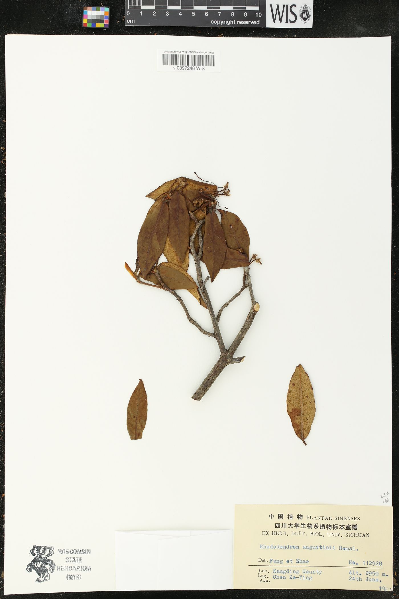 Rhododendron augustinii image