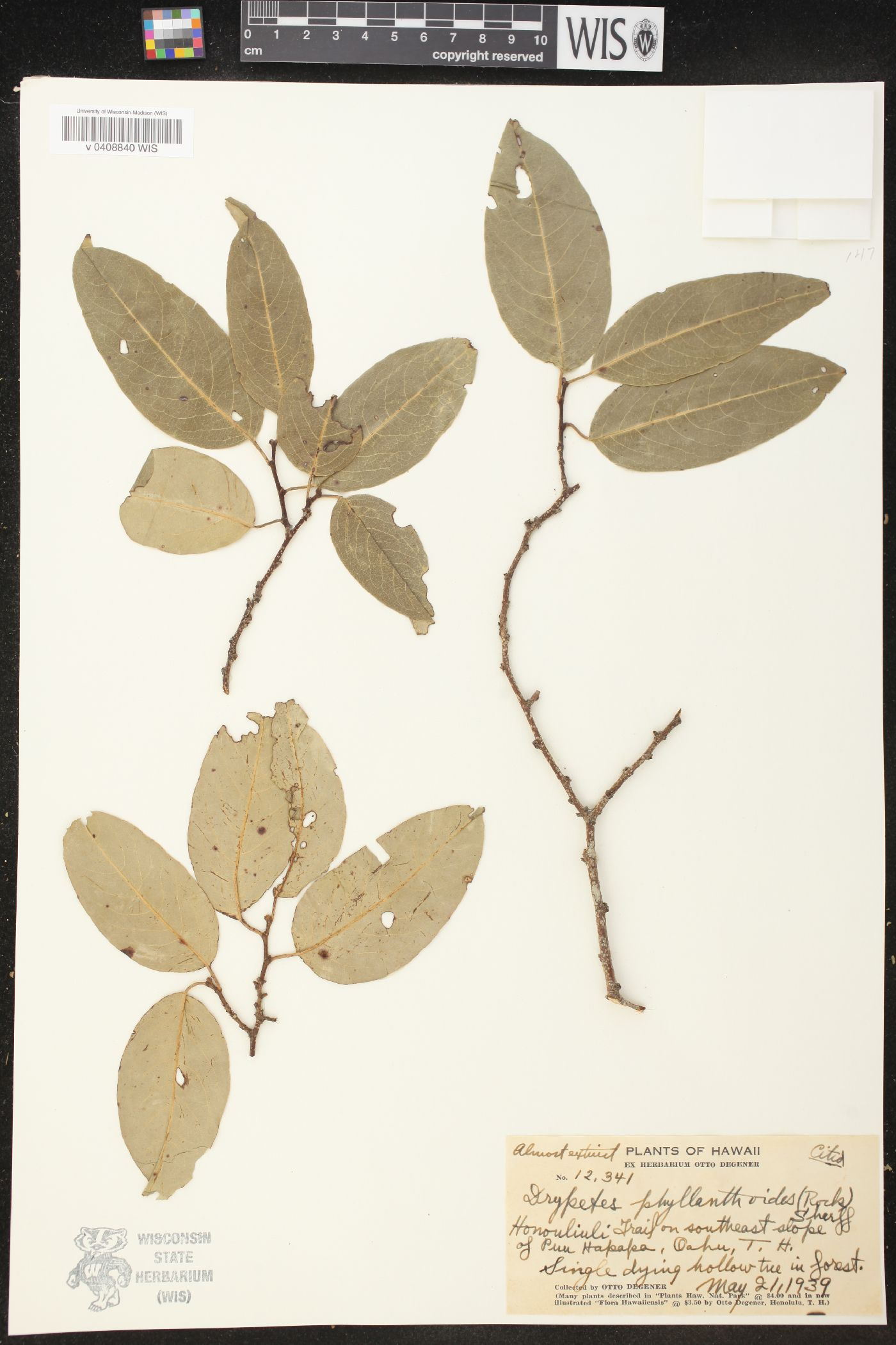 Drypetes phyllanthoides image