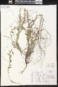 Phyllanthus polygonoides image