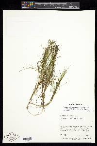 Stuckenia filiformis image