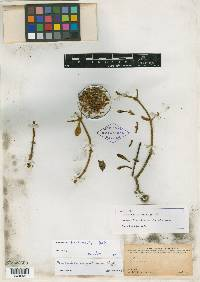 Image of Phoradendron saccatum