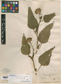 Image of Helianthus invenustus