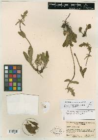 Image of Stachys penanevada
