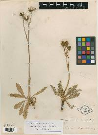 Image of Crepis andersonii