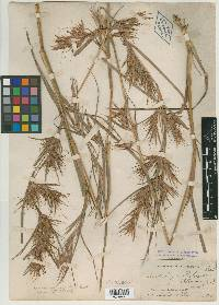 Image of Andropogon ruprechtii