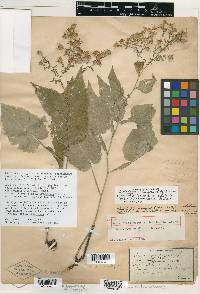 Image of Aster leiophyllus