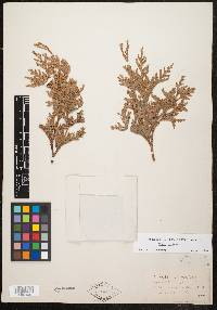 Thuja occidentalis image