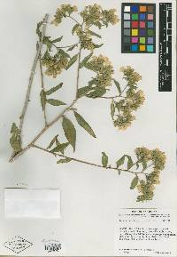 Image of Trixis parviflora