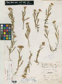 Image of Aster griseolus